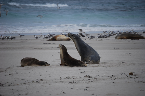 Australian sea lions on the beach