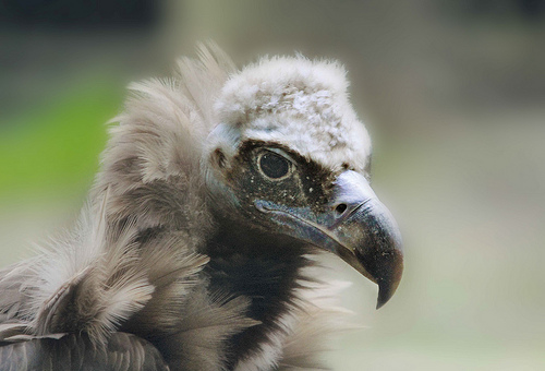 Cinereous Vulture is found in Europe and Asia
