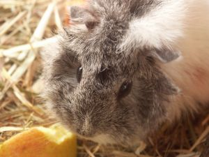The Guinea Pig is originall from the Andean region