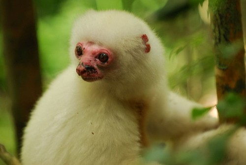Silky Sifakas are almost extinct
