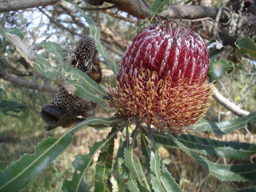 The Firewood Banksia is found in Western Australia
