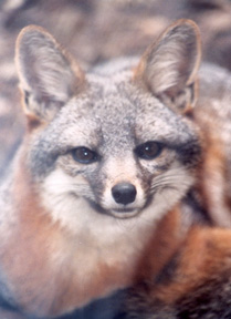 The Island Fox is found only at the Channel Islands