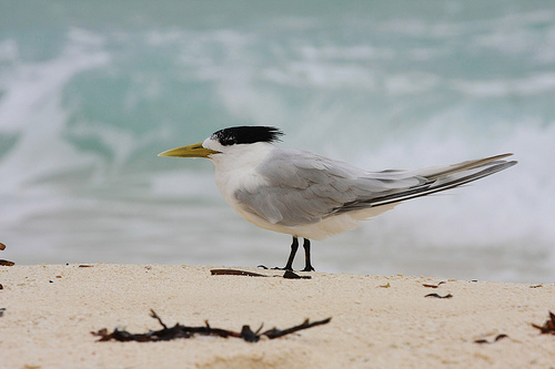 A Greater Crested Tern on the beach