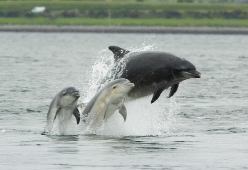 Bottlenose dolphin with its young