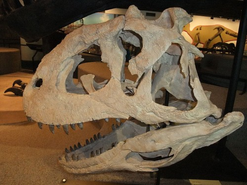 The skull of a Majungasaurus
