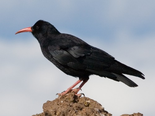 The nominate species of the Red-billed Chough