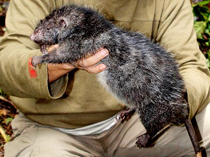 This giant rat is thought to be as big as Vespucci's Rodent