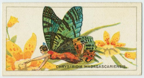 Chrysiridia Cigarette card e1294732145553 Madagascan sunset moth