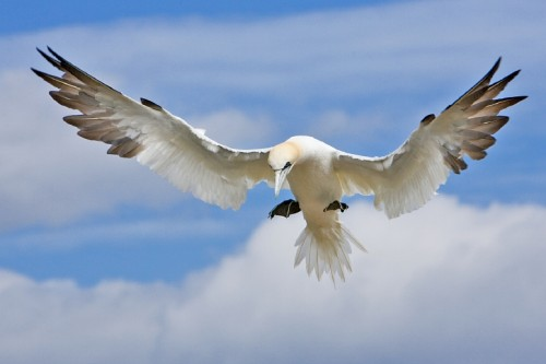 Northern Gannets are agile fliers