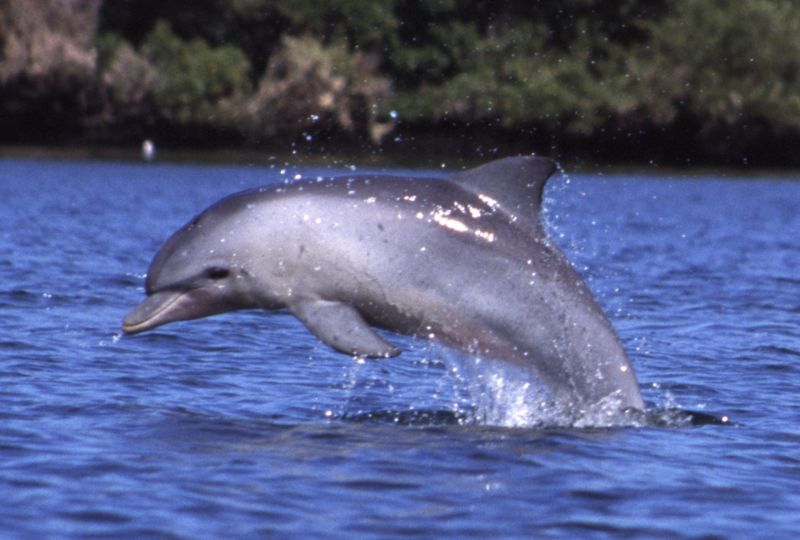 The Indo-Pacific bottlenose dolphin jumping