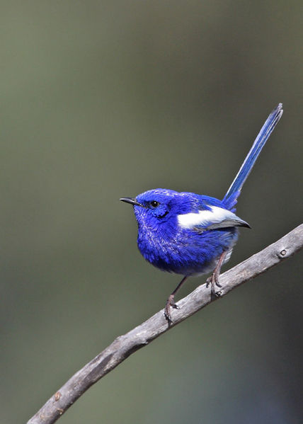 A White-winged Fairywren
