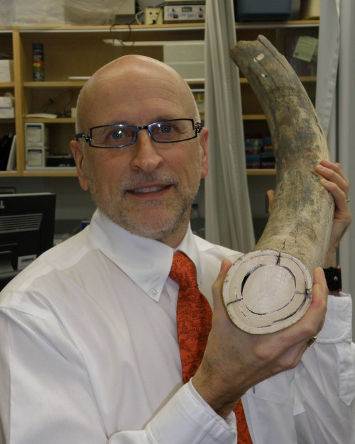 Stephen Sims holds the portion of mammoth tusk that will be used to research osteoclasts. Photo: University of Western Ontario