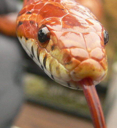 Top 10 Most Popular Pet Reptiles What On Earth